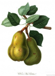 Williams pear RHS1816