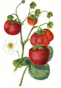 Keens seedling strawberry